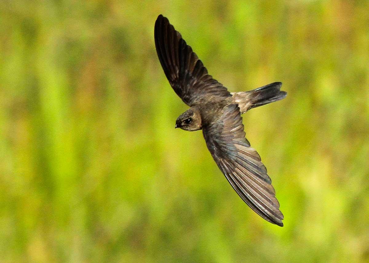 Hình minh họa chim yến